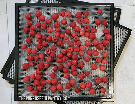 Excalibur dehydrator tray full of red raspberries to be dehydrated