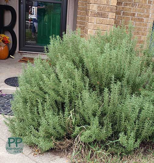 Large rosemary plant in the yard outside of a brown brick house.
