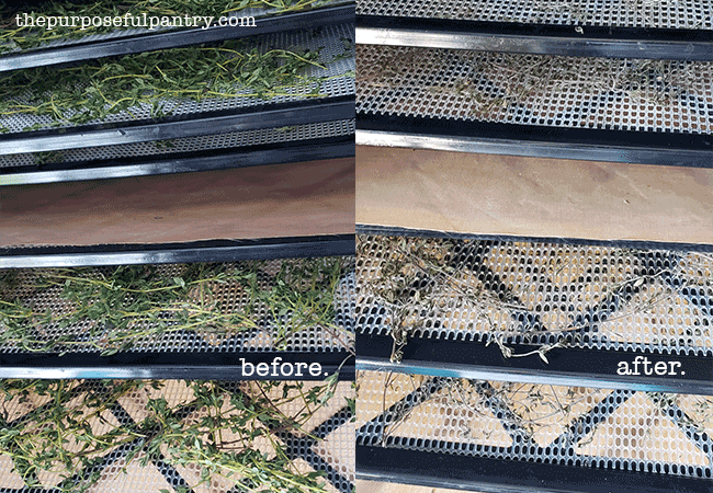 Before and After of fresh thyme on Excalibur dehydrator trays