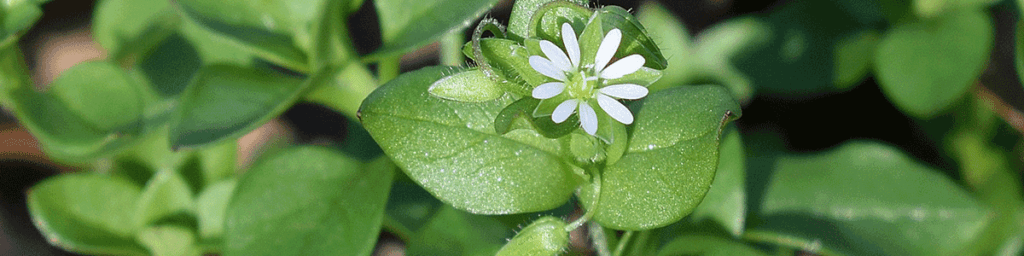 Field of chickweed with white flower teaching about dehydrating backyard weeds.