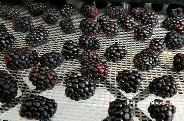 Fresh blackberries on an Excalibur Dehydrator tray
