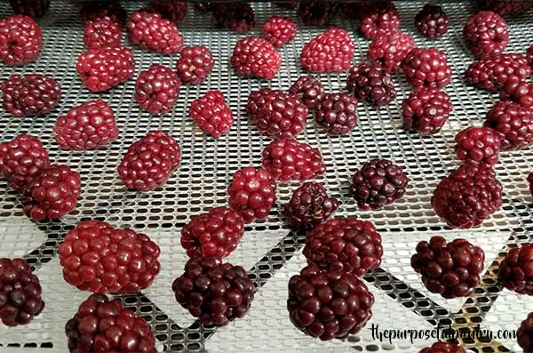Blckberries drying in an Excalibur Dehydrator