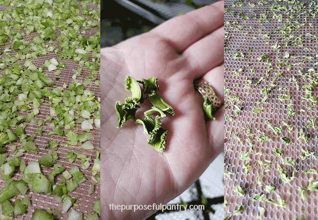 Dehydrated celery from beginning to end on Excalibur dehydrating trays and some in the palm of a hand.