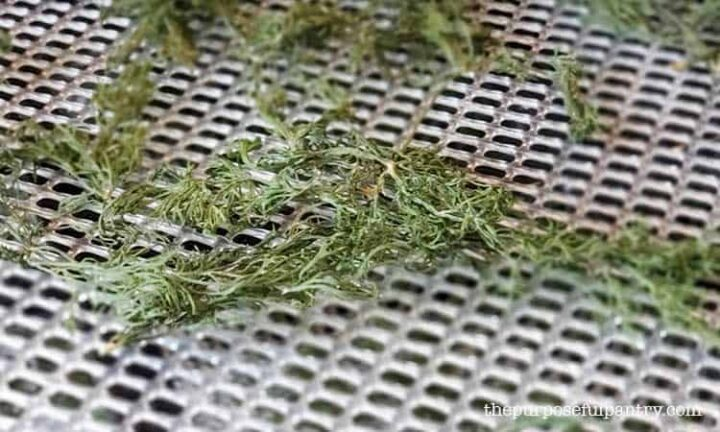 Dried dill on Excalibur dehydrator tray mesh