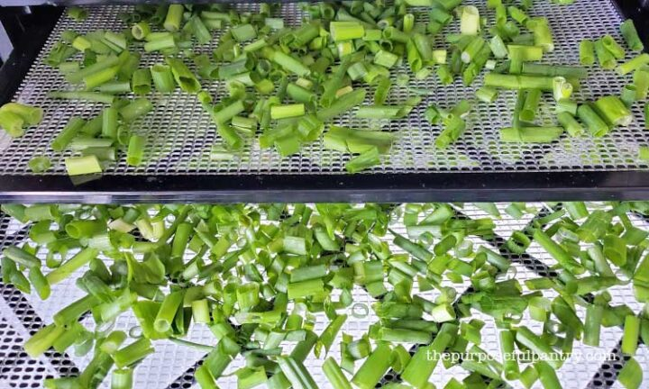 Fresh onion greens on Excalibur dehydrator trays being prepared for dehydrating