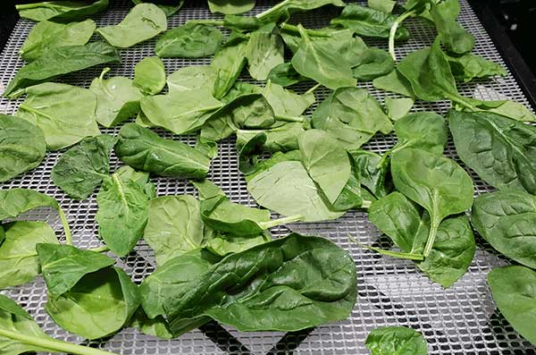 spinach greens on an Excalibur dehydrator tray to be dehydrated for dehydrated green powder