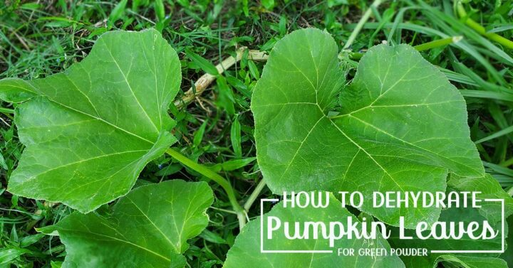 Pumpkin vine with large leaves to be dehydrated