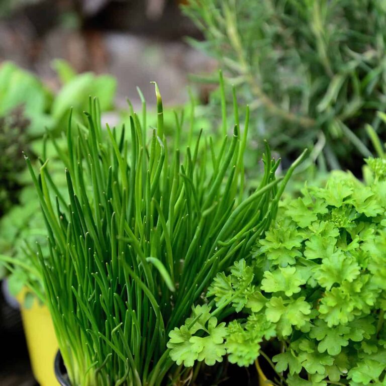 A bundle of chives, parsley, rosemary and other herbs