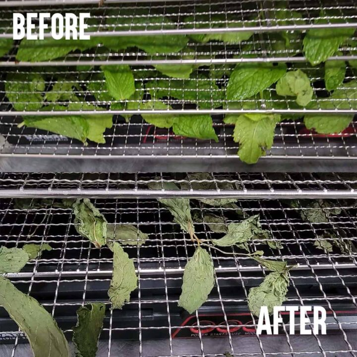 Fresh mint leaves before and dried mint leaves after both on Sahara dehydrator trays
